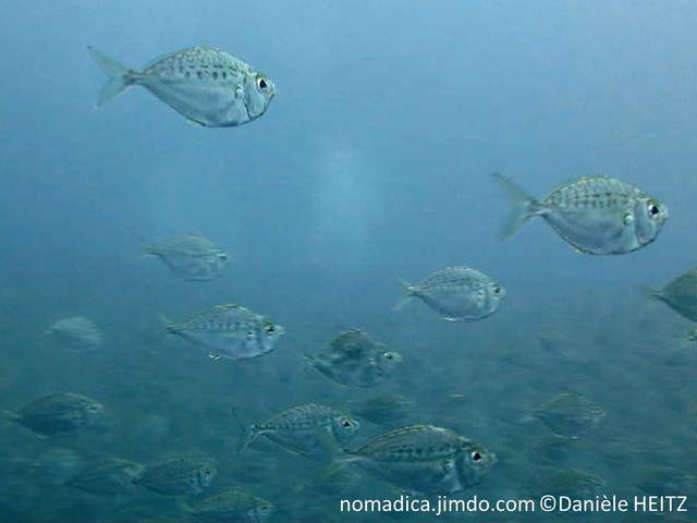 poisson, ovale, argenté