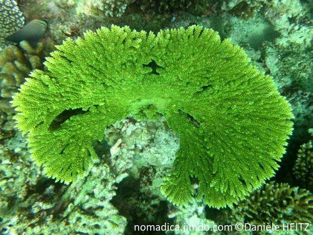 Corail dur, plaque, verte, brune, marge claire, branches fusionnées
