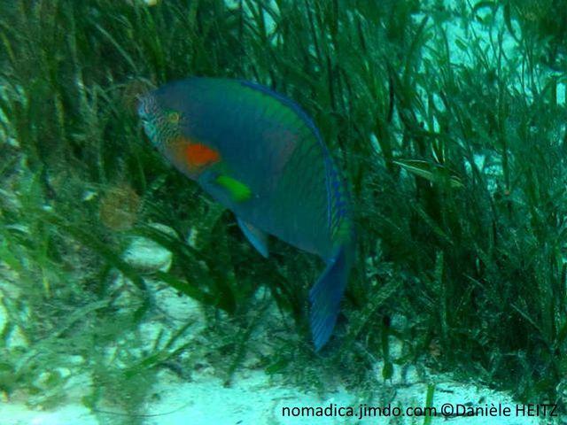 poisson,  bleu-vert, museau rayé, joue orange, nageoires pectorales jaunes
