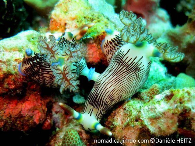 Nudibranche, blanc, lignes longitudinales et traits bruns, rhinophores anneau bleu, lamellé brun, panache branchial, anneau bleu, feuilles veinées brun