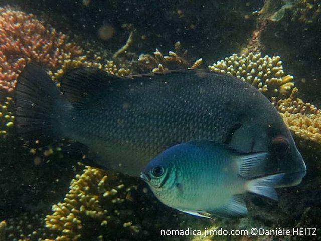 poisson, gris, tête, trait, vertical, noir, opercules, noirs