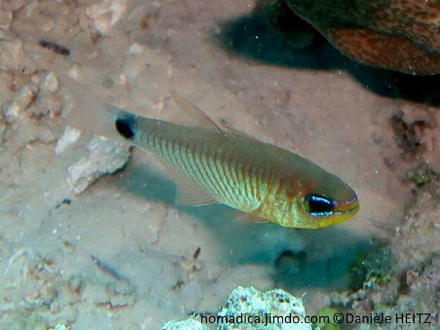 Poisson, 2 nageoires dorsales, corps, gris mauve, lignes oranges verticales, pédoncule caudal, tache noire, museau et yeux, 2 traits bleu-électrique
