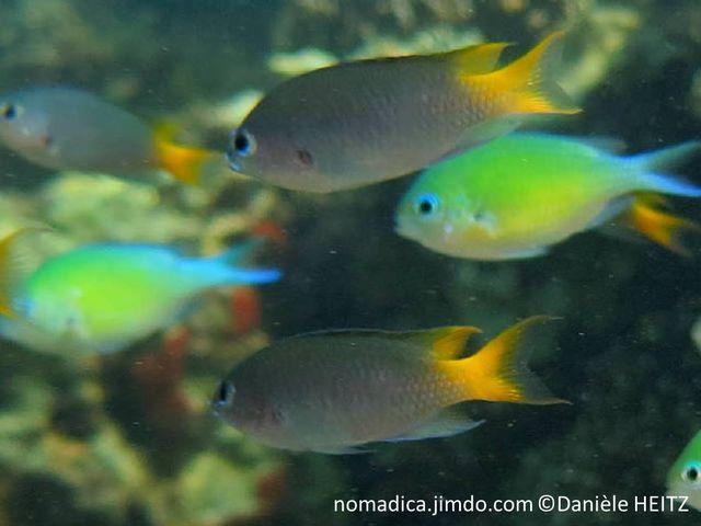 poisson, grisâtre, queue jaune