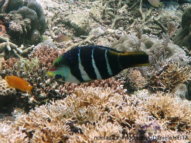 Poisson, noir, 4 bandes verticale claires, tête motif de ligne