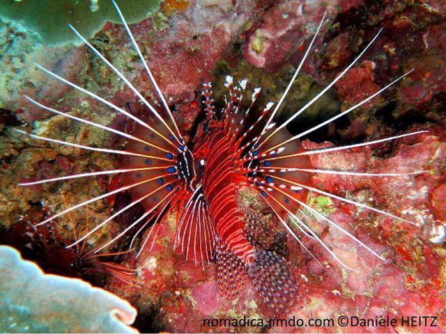 poisson, rougeâtre, lignes verticales blanches,  nageoires pectorales et dorsale,  rayons longs fins blancs, membrane, taches bleues