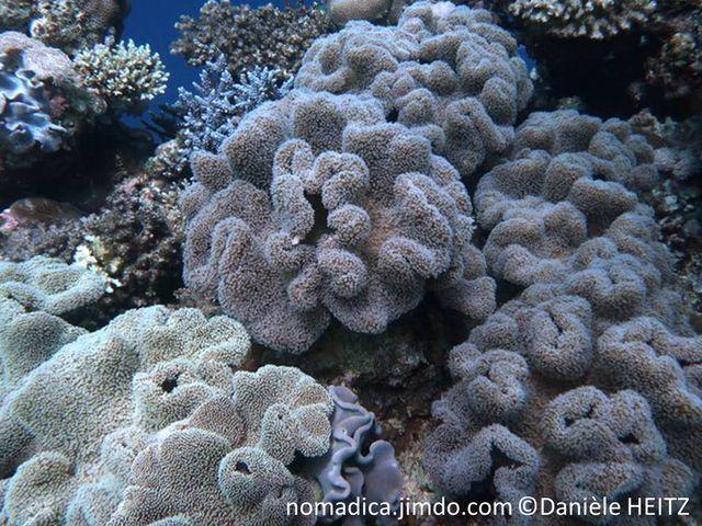 Corail mou, forme champignon, chapeau large, aplati, bord ondulé, surface, long polypes, tentacules blancs