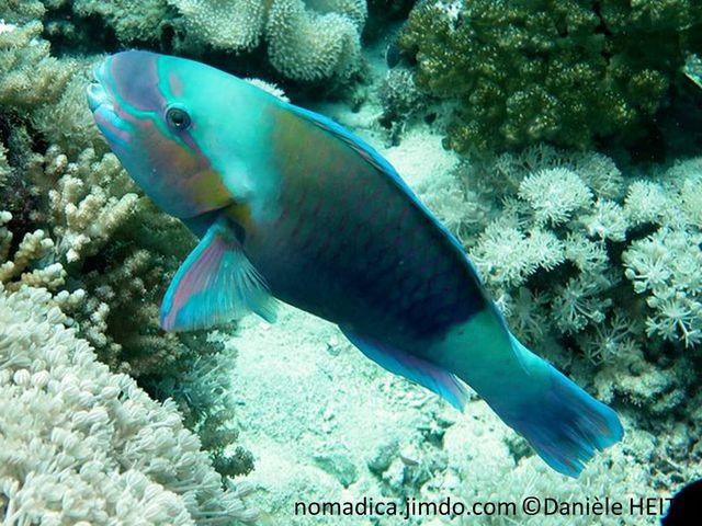 Poisson,  bleu-vert, joues orangées, corps arrière,  bleu clair