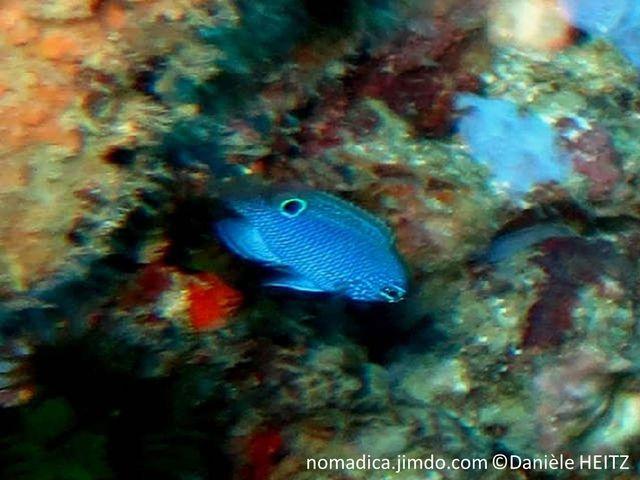 poisson, bleu vif, arrière dorsale, ocelle noir cerclé bleu-électrique