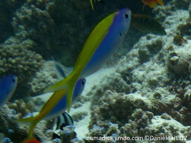 Poisson, fuselé, bleu, tête, dos et queue jaune vif