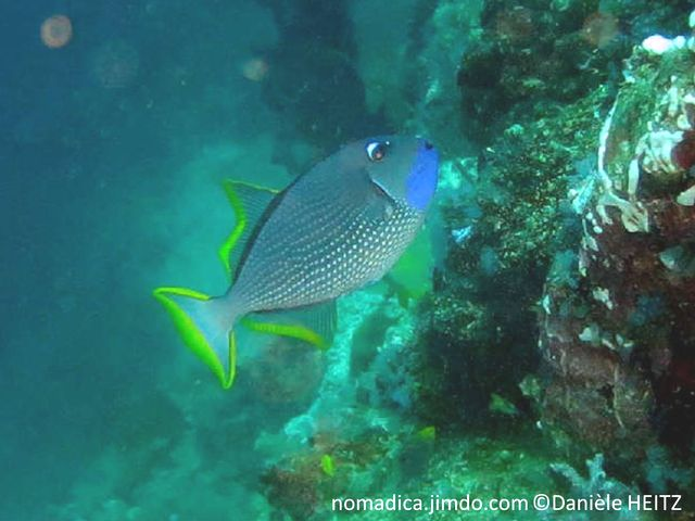 poisson, ovale, beige bleuté, gorge bleue, nageoires, bordures jaunes
