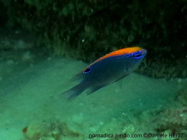 Poisson, juvénile, gris-bleuté, tête et haut du dos, orange, tête, lignes bleu-vif, arrière nageoire dorsale, ocelle noir cerclé bleu-vif