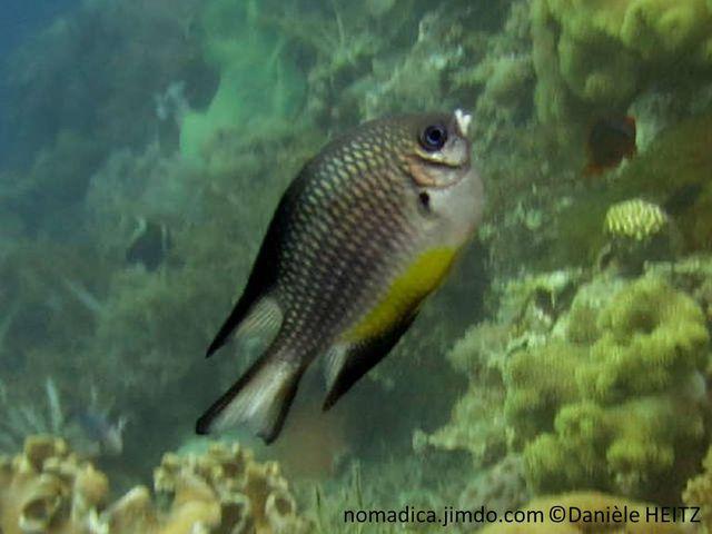 Poisson, gris-argenté, ventre jaune, joue barré de noire, nageoires marquées de noir
