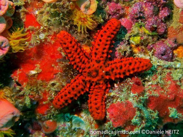 Etoile de mer, couleur de fond brune, maillage rouge, épines courtes