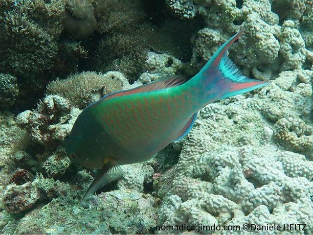 Poisson, corps verdâtre, 1er partie foncé, nageoire caudale, lobes rosés bord bleu, base nageoire caudale, tache jaune