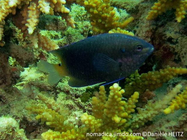 poisson, gris foncé, arrière jaunâtre, haut pédoncule caudale, tache noir, trait bleu-vif
