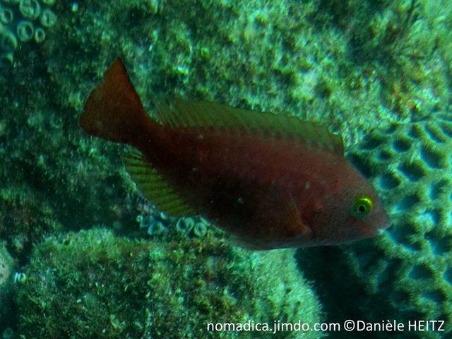 Poisson, ovale, grosses écailles, couleur rougeâtre, tête grisâtre, points noirs, yeux jaunes, nageoires dorsale et anale jaunâtres