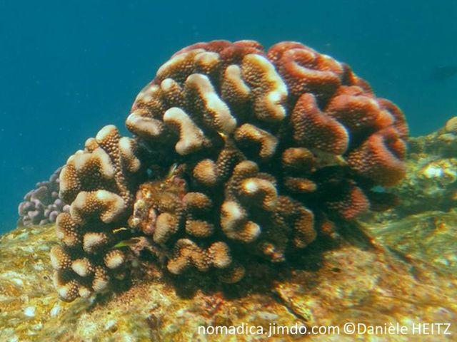 Corail dur, buisson, brun rose, branches courtes, compactes, incurvées, verrues régulières