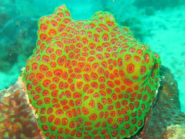 corail, dur, couleurs vives