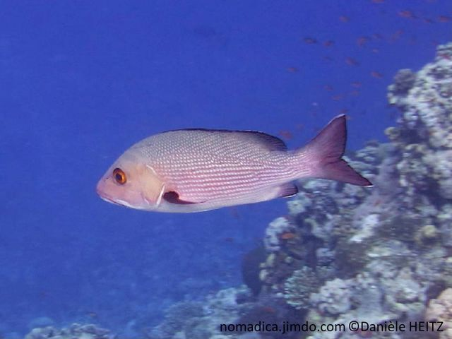 poisson, rosâtre, nageoires, noires