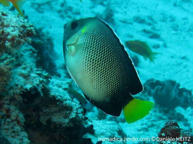 poisson, blanc, noir, queue,jaune