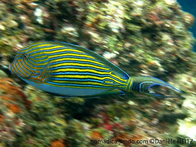 poisson, rayé, jaune, bleu