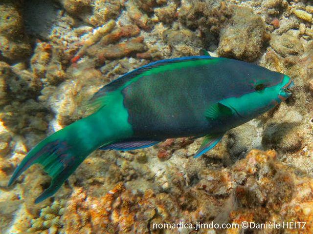 poisson, gorge,  haut du dos, arrière et queue, turquoise