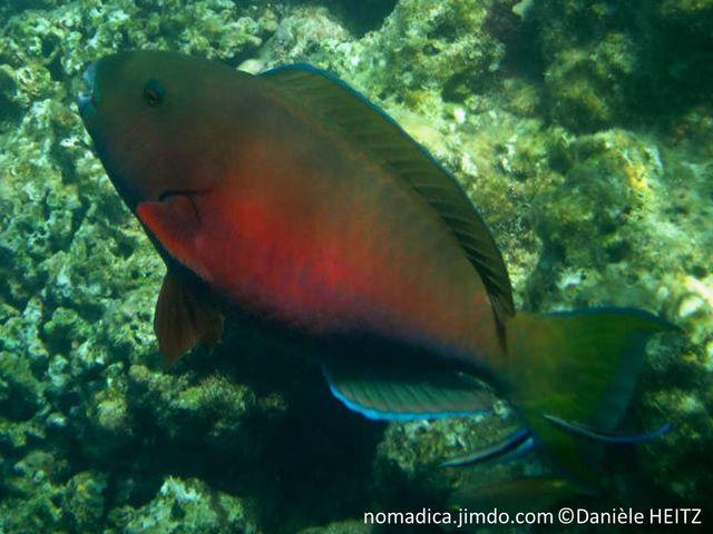 poisson, front, bombé,  jaune verdâtre, ventre rougeâtre