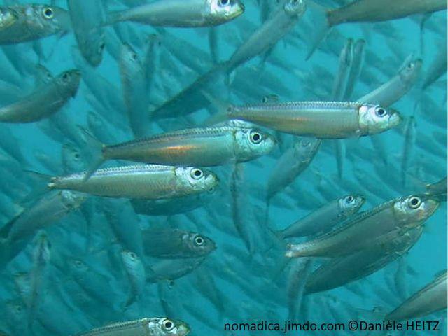 poisson, fuselé, tache orange, haut opercule, dos lignes bleue,