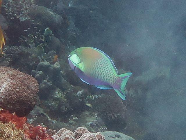 Poisson, massif, ovale, bleu vert, joue, tache rectangulaire blanche, ventre et gorge bleu-violet