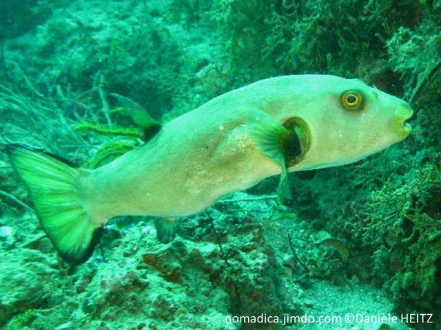 poisson, ballon, gris, beige, oeil, jaune, cerclé, brun, tache, brune, base, nageoire, pectorale, dorsale, queue, bordure, noire