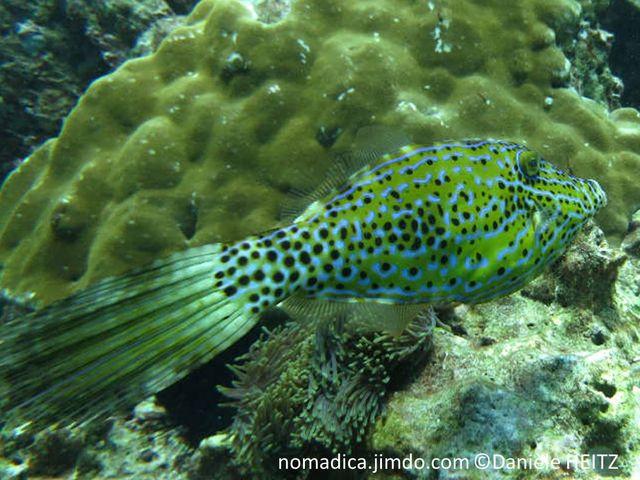 Poisson, forme losange,  verdâtre, lignes bleues, points noirs, queue longue