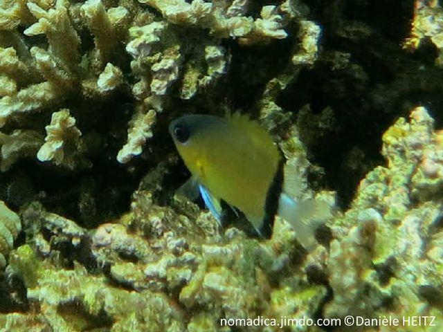 Poisson, ocre jaune, tête grise, corps, arrière, bande noire, oblique, queue blanche