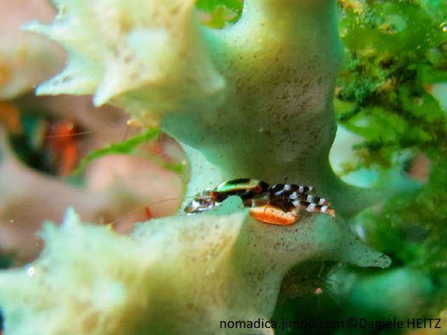 crabe, très petit, brun foncé, motif carré crème, pattes rayées, brun foncé, crème bleuté