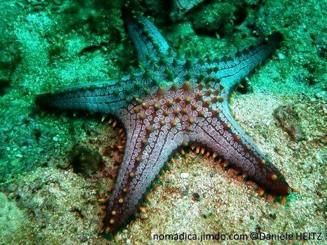 Etoile de mer, gris brunâtre, disque central large, tubercules dispersés, 5 bras épais, tubercules alignés