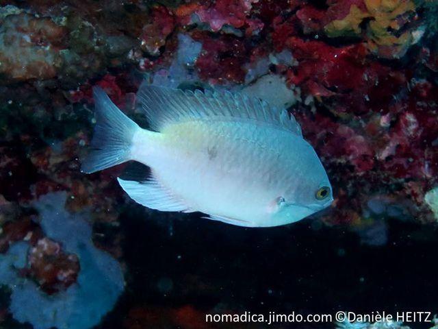 Poisson, comprimé, couleur variable, bleu-mauve, yeux jaunes, arrière nageoire anale, tache noire