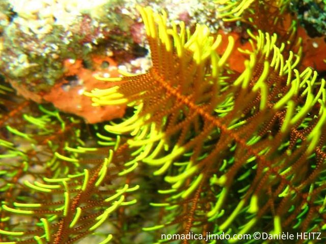 Comatule, forme buisson, couleur brun orange et jaune, pinnules hirsutes
