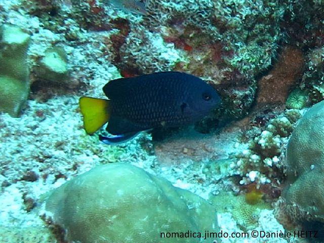 poisson, , bleu foncé, queue jaune