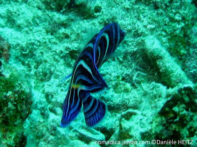 poisson, comprimé, bleu-foncé, lignes bleues incurvées jusqu'à la queue