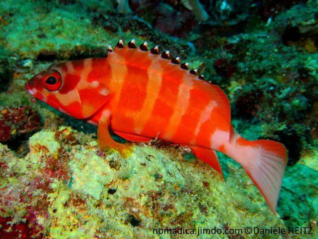 poisson, allongé, rouge orangé, bandes verticales pâles, nageoire dorsale, rayons, pointe noire, point blanc