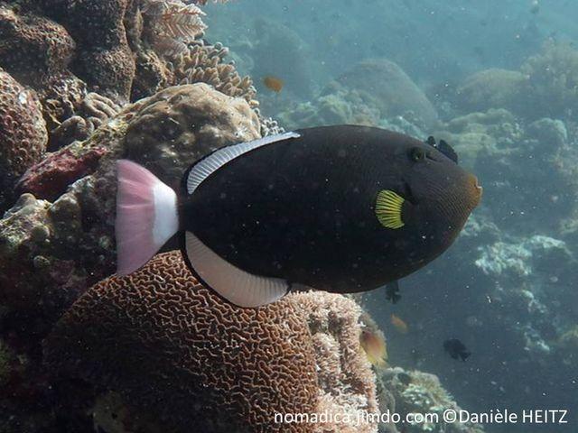 poisson, ovale, sombre, queue rose, bande blanche, nageoires, dorsale, anale, blanches bordées de noir