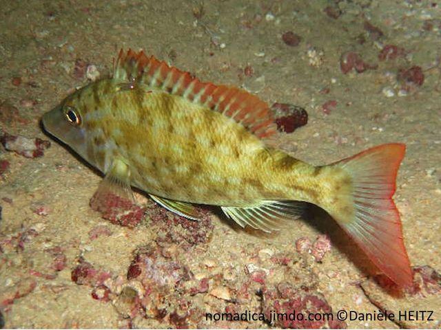 poisson, livrée de nuit