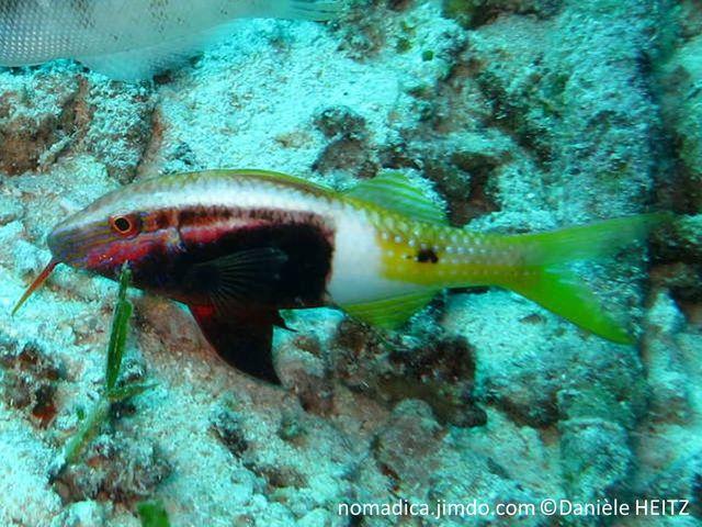 Poisson, bicolore, avant brun-rougeâtre, arrière jaune, bande blanche, tache noire, tête 2 bandes blanches