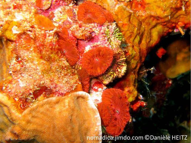 Corail dur,  polypes rouges