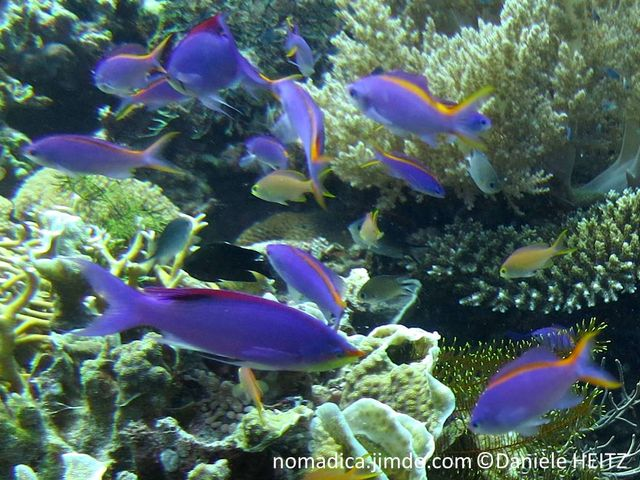 poisson, allongé, mauve-rose, tache rouge à l'arrière de la nageoire dorsale, femelle, dos, bande, jaune