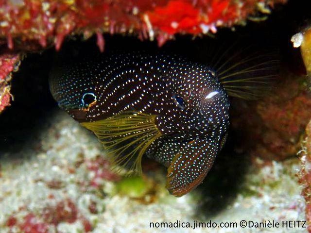 poisson, très larges nageoires, brun, points blancs, ocelle noir cerclé bleu