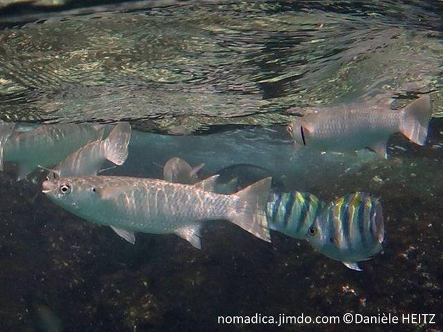 poisson, allongé, argenté, tête, dessus verdâtre, grosses écailles,