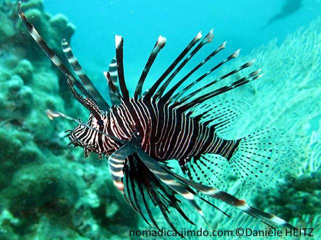 poisson, rayé brun blanc grandes nageoires en forme de voilure