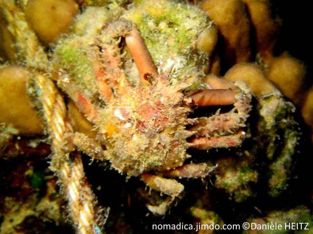 crabe araignée, orangé, carapace, pattes, piquants, pinces lisses
