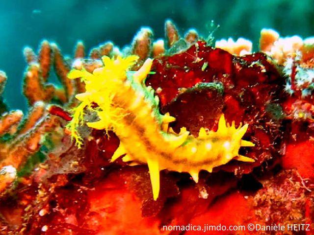 Holothurie, jaune vif, excroissances pointues irrégulières