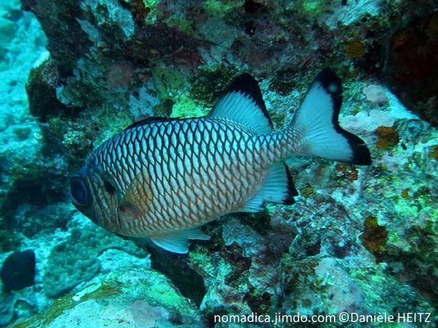 poisson, nageoires, bordures, noires